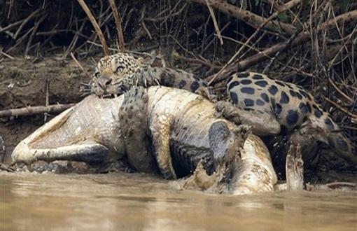 معركة شرسة بين نمر وتمساح حتى الموت (صور)